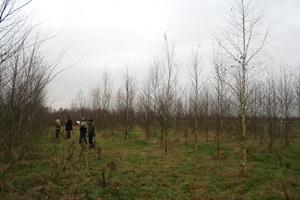 Pflanzung von Betula spp. auf ehemaligem humusreichen Ackerstandort, Alter 5 Jahre