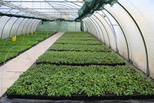 Hybridbirken in der Abhärtung im Gewächshaus